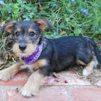 Dachshund Schnauzer Mix Puppies For Sale