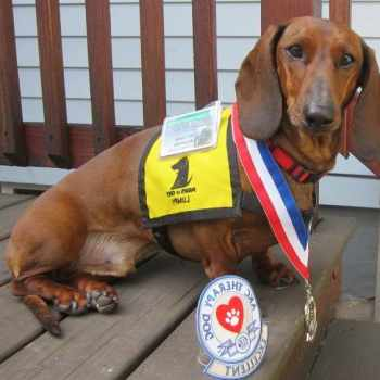Dachshund Therapy Dogs