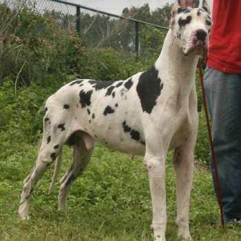 Dalmatian Great Dane Puppies For Sale
