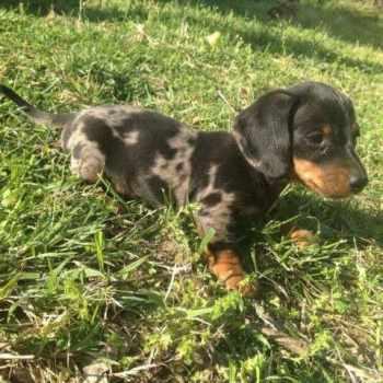 Dapple Dachshund Puppies For Sale In Arkansas