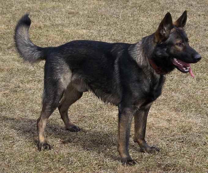 Dark Brown German Shepherd