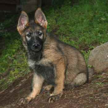 Ddr German Shepherd Breeders California