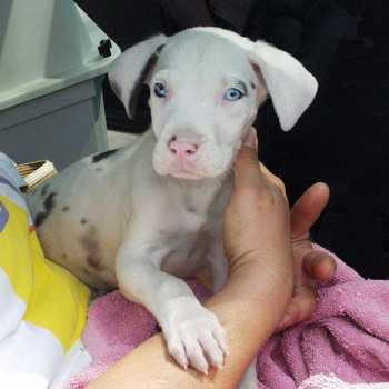 Deaf Great Dane Puppy For Sale