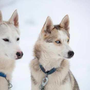 Different Breeds Of Husky