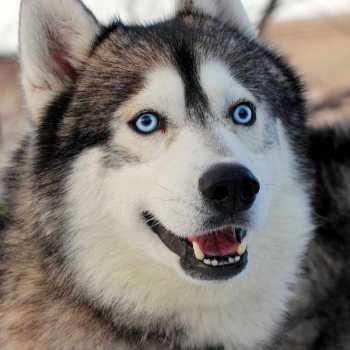 Dog Alaskan Husky