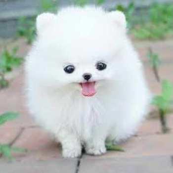 Dog Breed Pomeranian Husky
