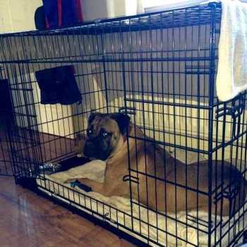 Dog Crate For English Mastiff