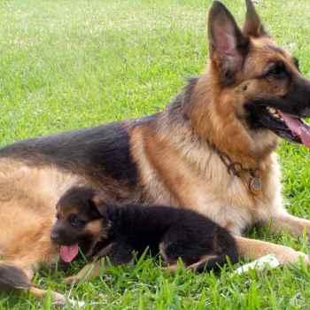 Dog German Shepherd Puppies For Sale