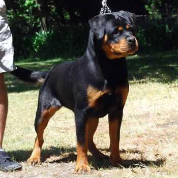 Dog Rottweiler For Sale