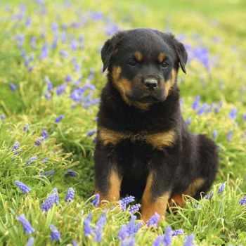 Dog Rottweiler Puppy