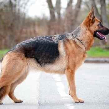 Dogs German Shepherd For Sale