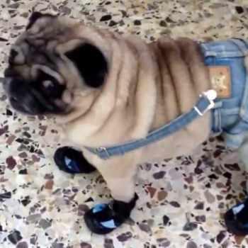 Dress For Pug