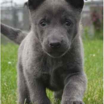 Dutch German Shepherd For Sale