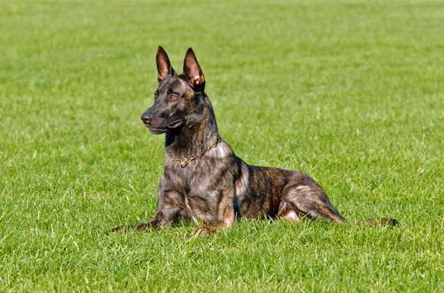 Dutch German Shepherd