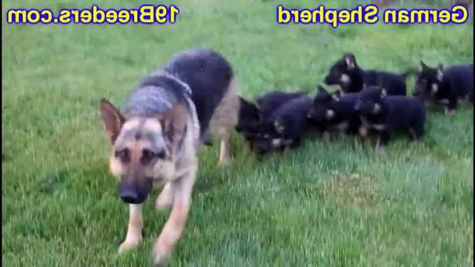 Ebay German Shepherd
