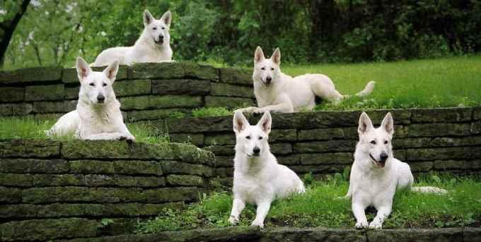 Echo White German Shepherd Rescue