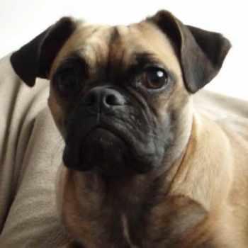 English Bulldog Pug