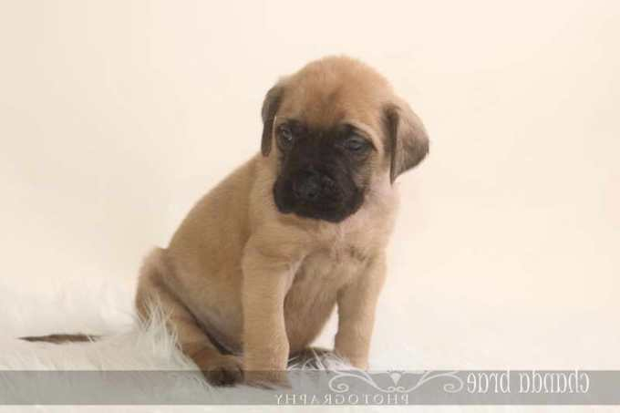 English Mastiff Breeders In Georgia