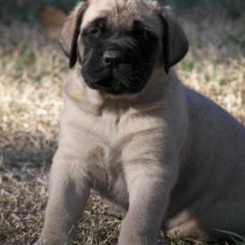 English Mastiff For Sale Florida