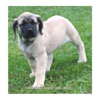 English Mastiff For Sale In Iowa