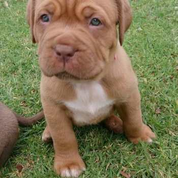 English Mastiff Pitbull Mix Puppies For Sale
