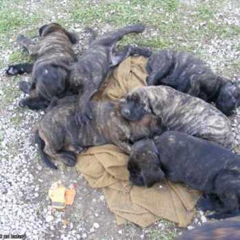 English Mastiff Puppies For Sale In Arkansas