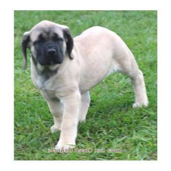 English Mastiff Puppies For Sale In Iowa