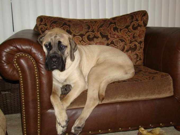 English Mastiff Puppies For Sale In Kansas