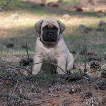 English Mastiff Puppies For Sale In Sc