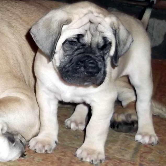 English Mastiff Puppies For Sale In Tn