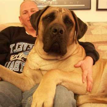 English Mastiff Puppies For Sale In Wv