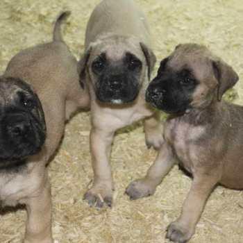 English Mastiff Puppies Nj