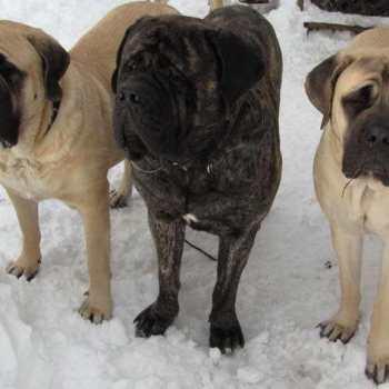 English Mastiff Puppies Ny