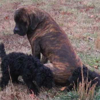 English Mastiff Rescue Ohio