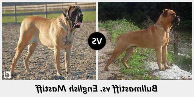 English Mastiff Vs Bullmastiff