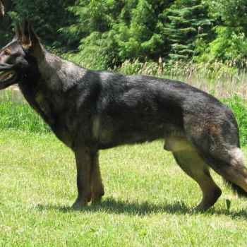European German Shepherd
