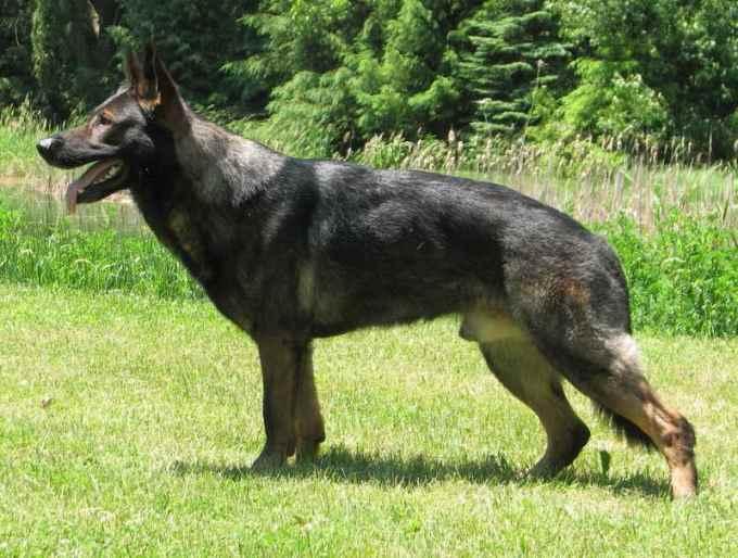 European Working Line German Shepherd Breeders