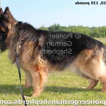 Extra Large German Shepherd