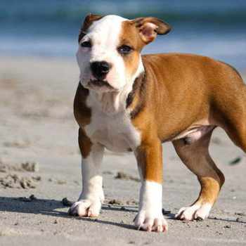 Female Pit Bull Puppy Names