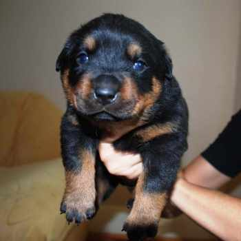 Female Rottweiler Puppies For Sale