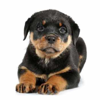 Female Rottweiler Puppy Names