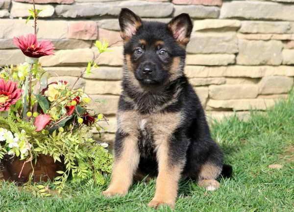 Find German Shepherd Puppies For Sale