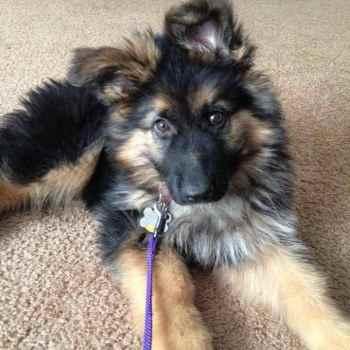 Fluffy German Shepherd Puppies For Sale