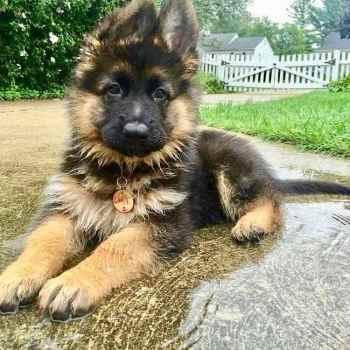Fluffy German Shepherd