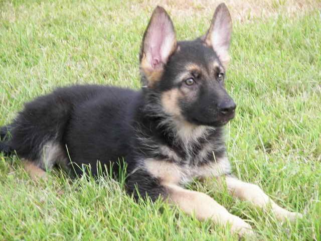 For Sale German Shepherd Puppies
