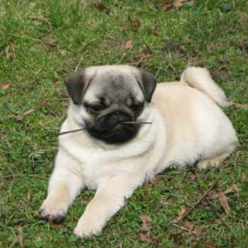 For Sale Pug Puppies