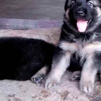 Free German Shepherd To Good Home