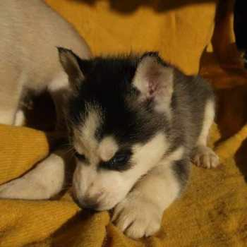 Free Husky Puppies In Wv