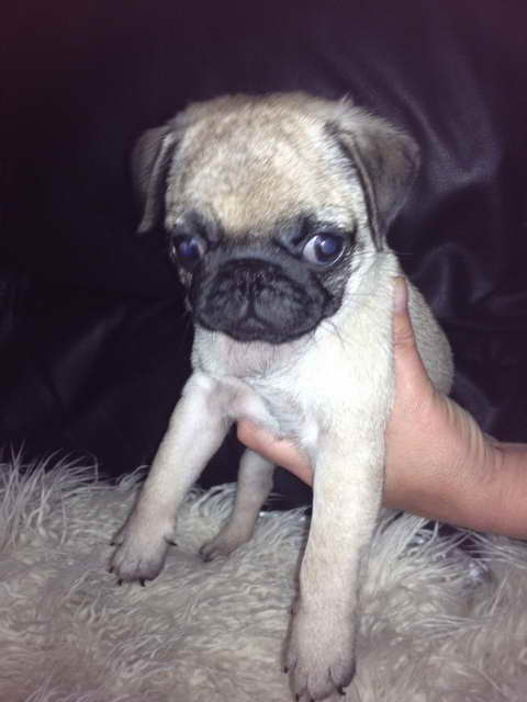 Free Pug Puppies For Adoption
