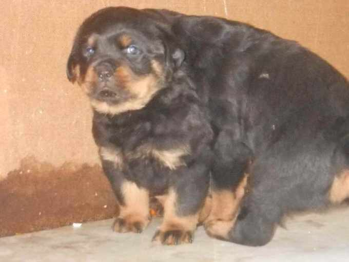 Free Rottweiler Puppies For Sale